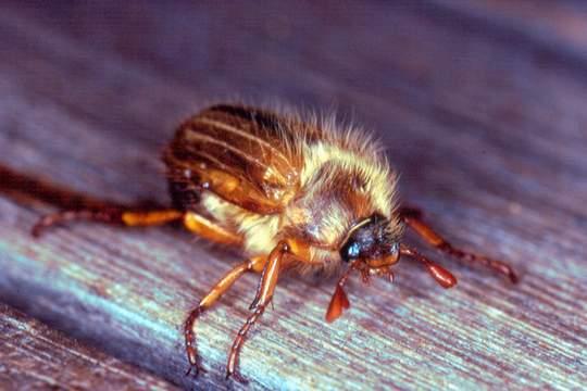 riesige käfer in der dämmerung