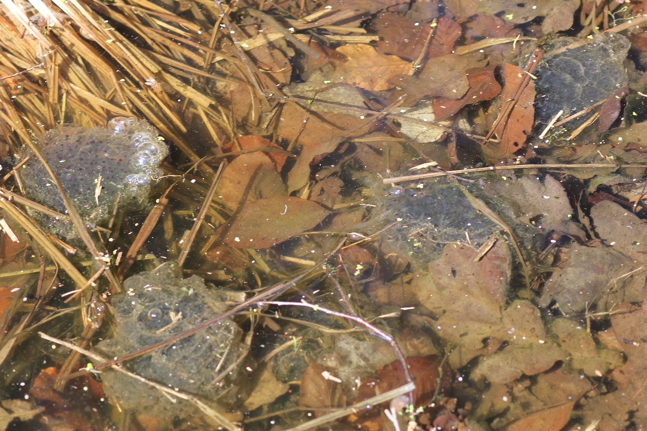 Naturspektrum Springfrosch (Rana dalmatina) - ArtenInfo