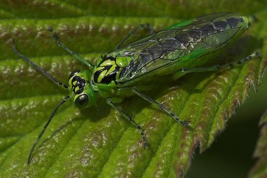 sehr großes insekt wie hornisse